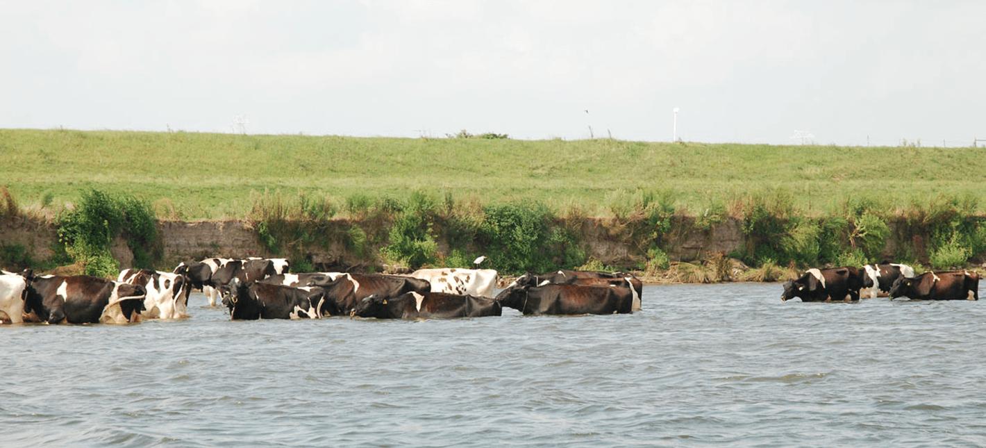 日本のガンジス川!?</br>利根川に沐浴する牛を見に行く。