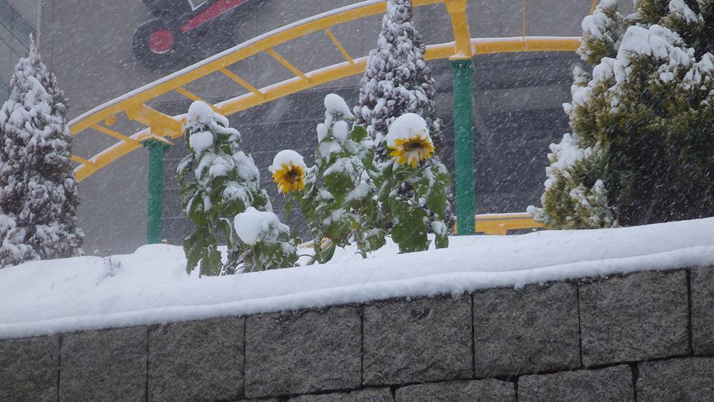 ⑭真冬の向日葵
