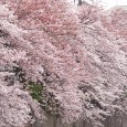 桜というマジック