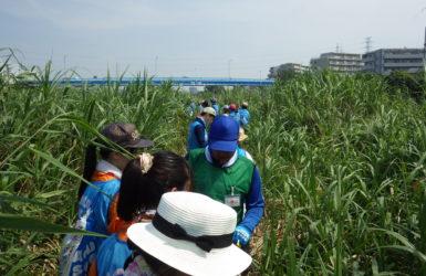 アレチウリってなに?外来種を退治するイベントに参加して、鶴見川の再生を体験してみた